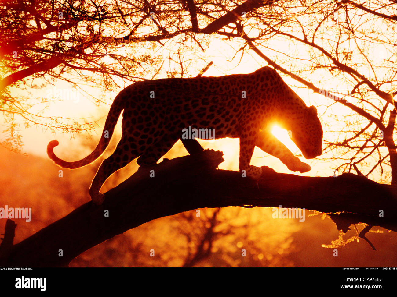 Namibia Leopardo Foto Stock