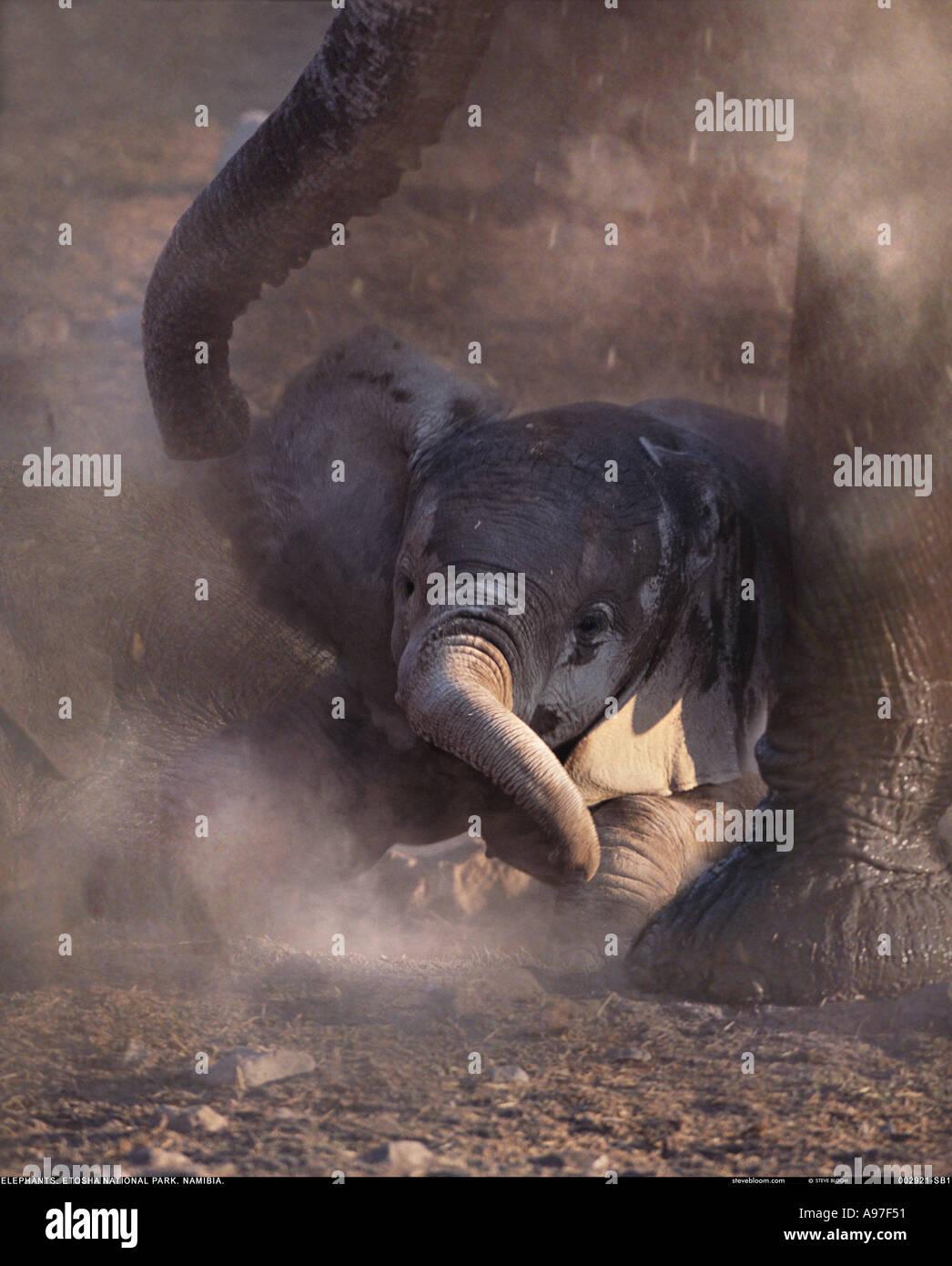 Baby Elephant con la madre Etosha National Park Namibia Immagini Stock