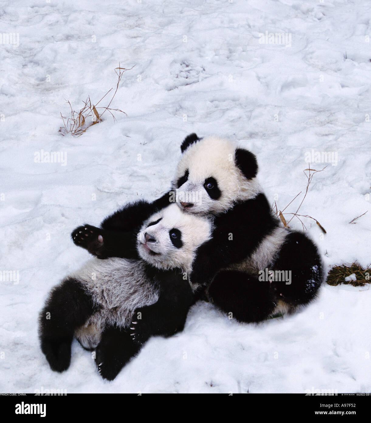 Panda in neve Cina Sichuan Immagini Stock
