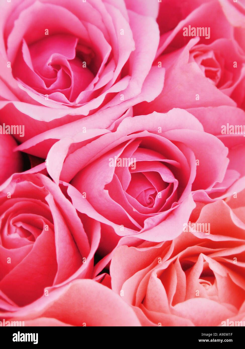 Nome comune Rose nome latino Rosa Immagini Stock