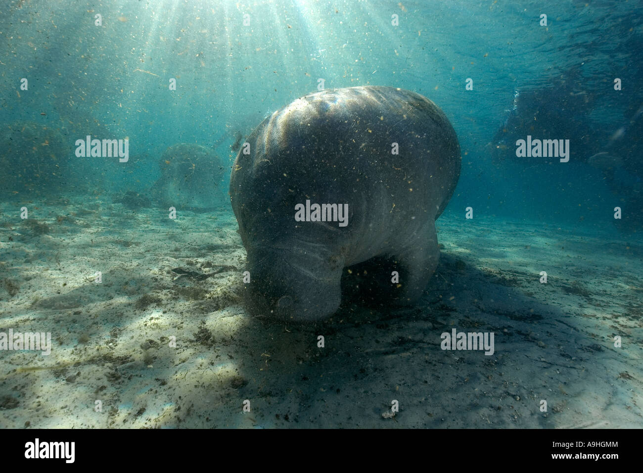 Florida manatee Trichechus manatus latirostris Crystal River Florida USA Immagini Stock
