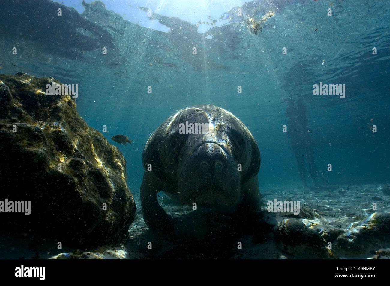 Florida manatee Trichechus manatus latirostris Crystal River Florida USA Foto Stock