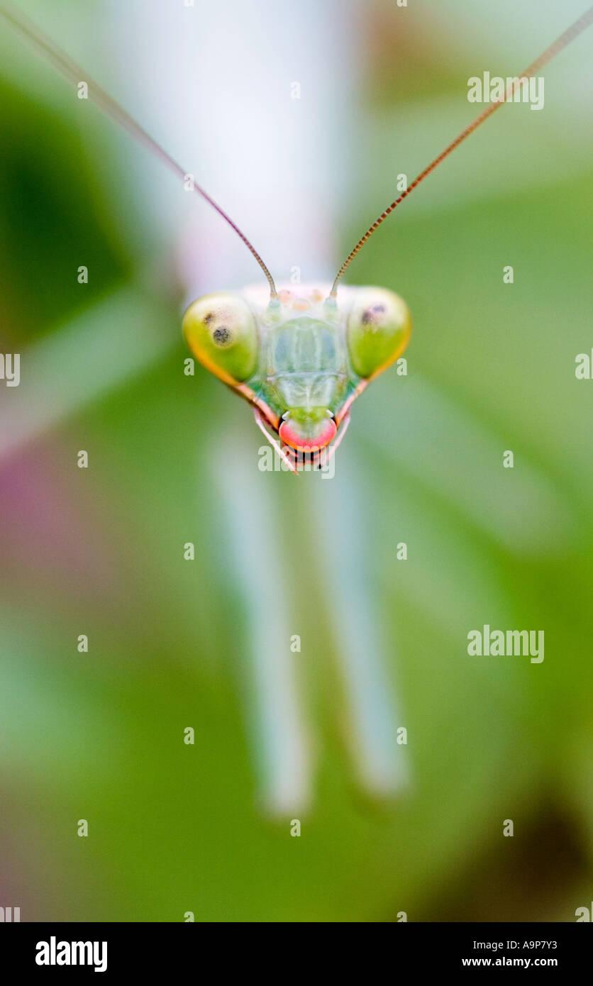 Testa ravvicinata di una mantide religiosa sulla pianta verde Foto Stock
