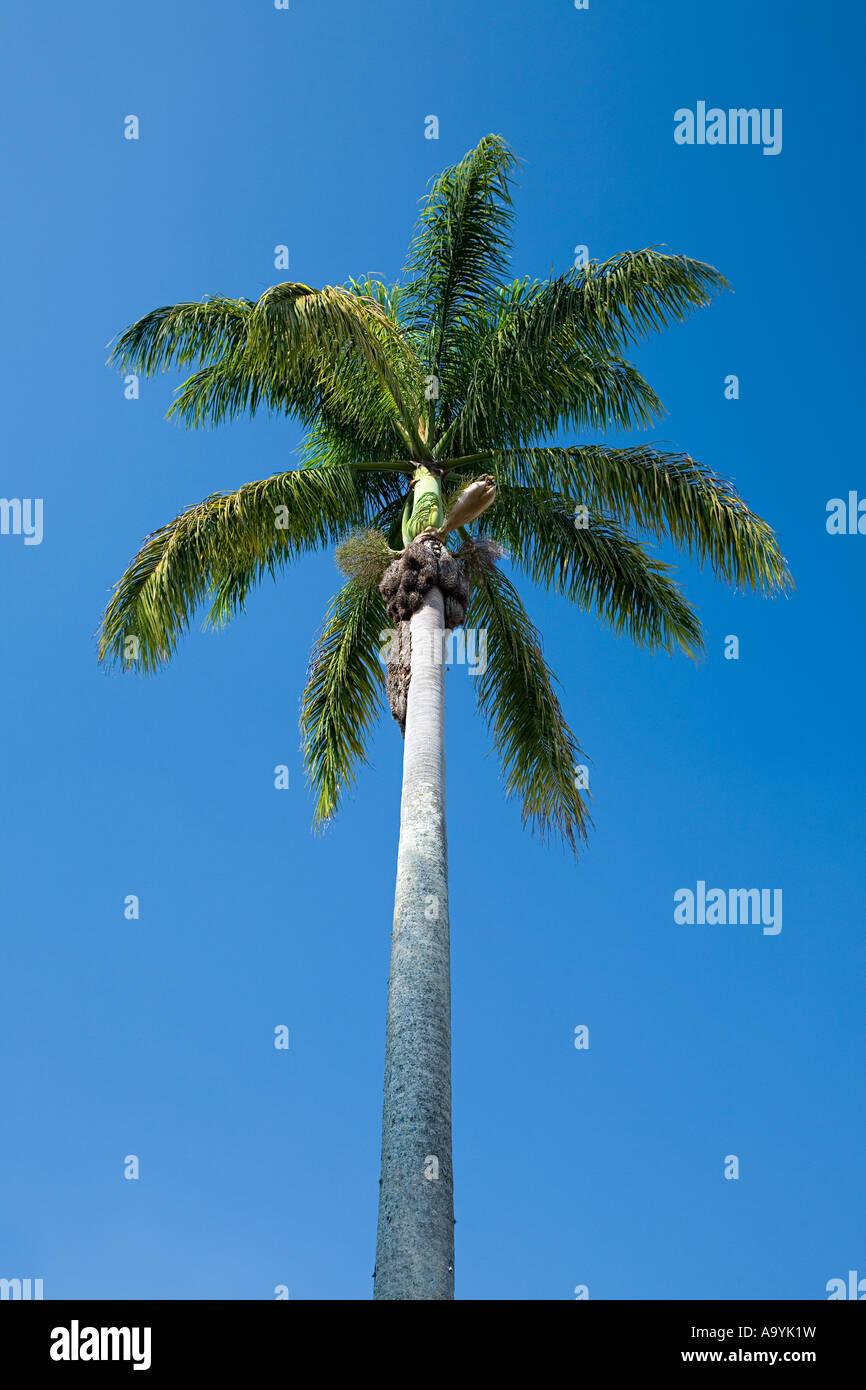 Coconut Palm tree Immagini Stock