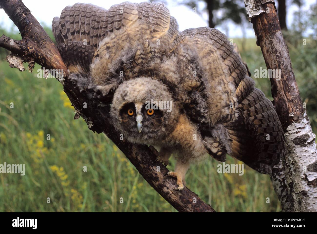 Gufo comune (Asio otus) genere Asio, uccellino, minacciando gesto Immagini Stock