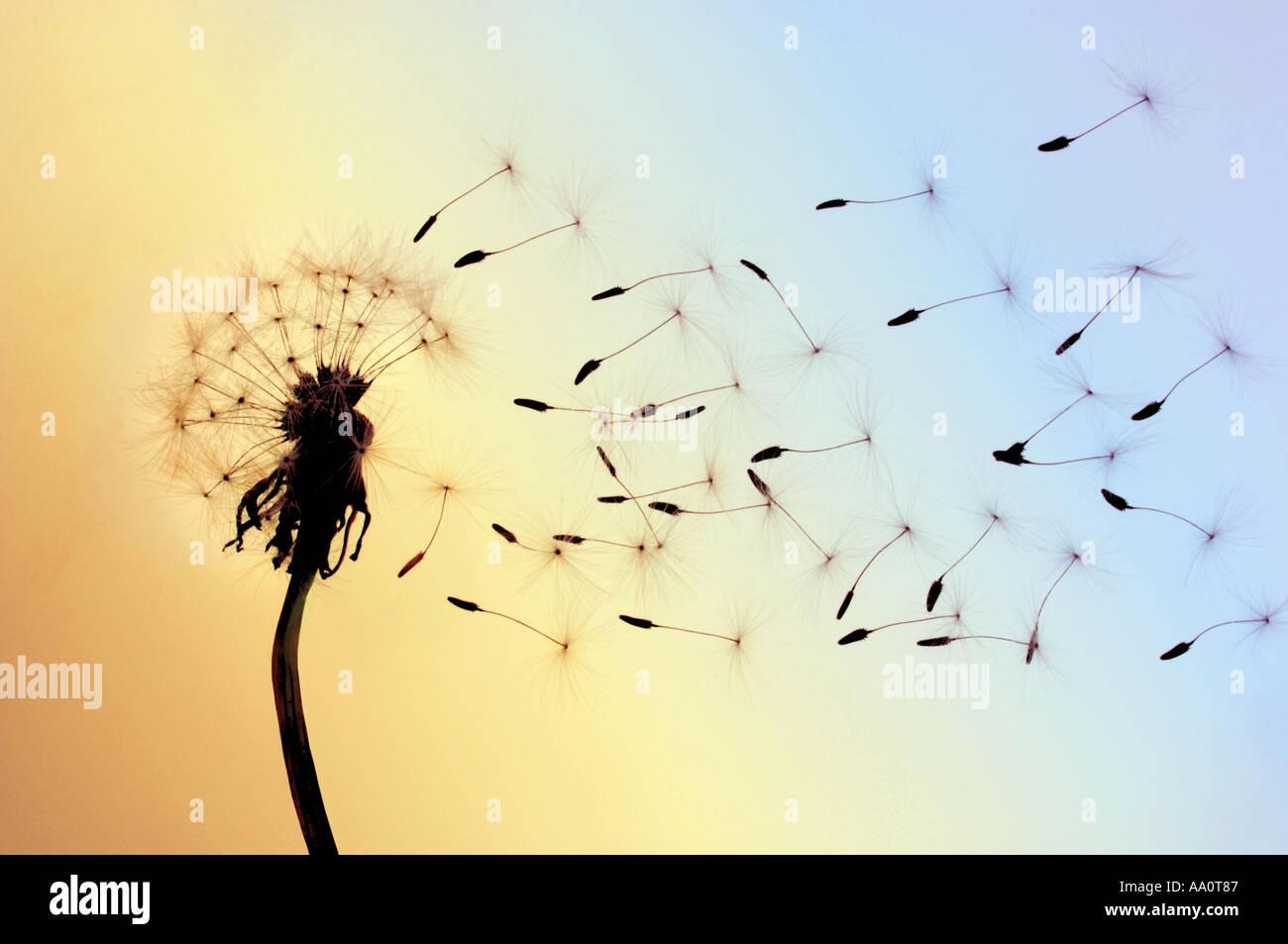 Tarassaco semi soffiati via dal vento Immagini Stock