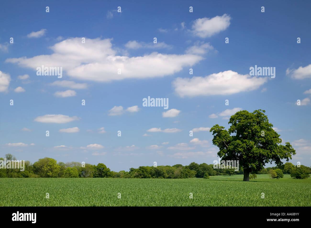 Vecchia Quercia in un campo di grano preso in un campo di Hampshire, Inghilterra. Immagini Stock