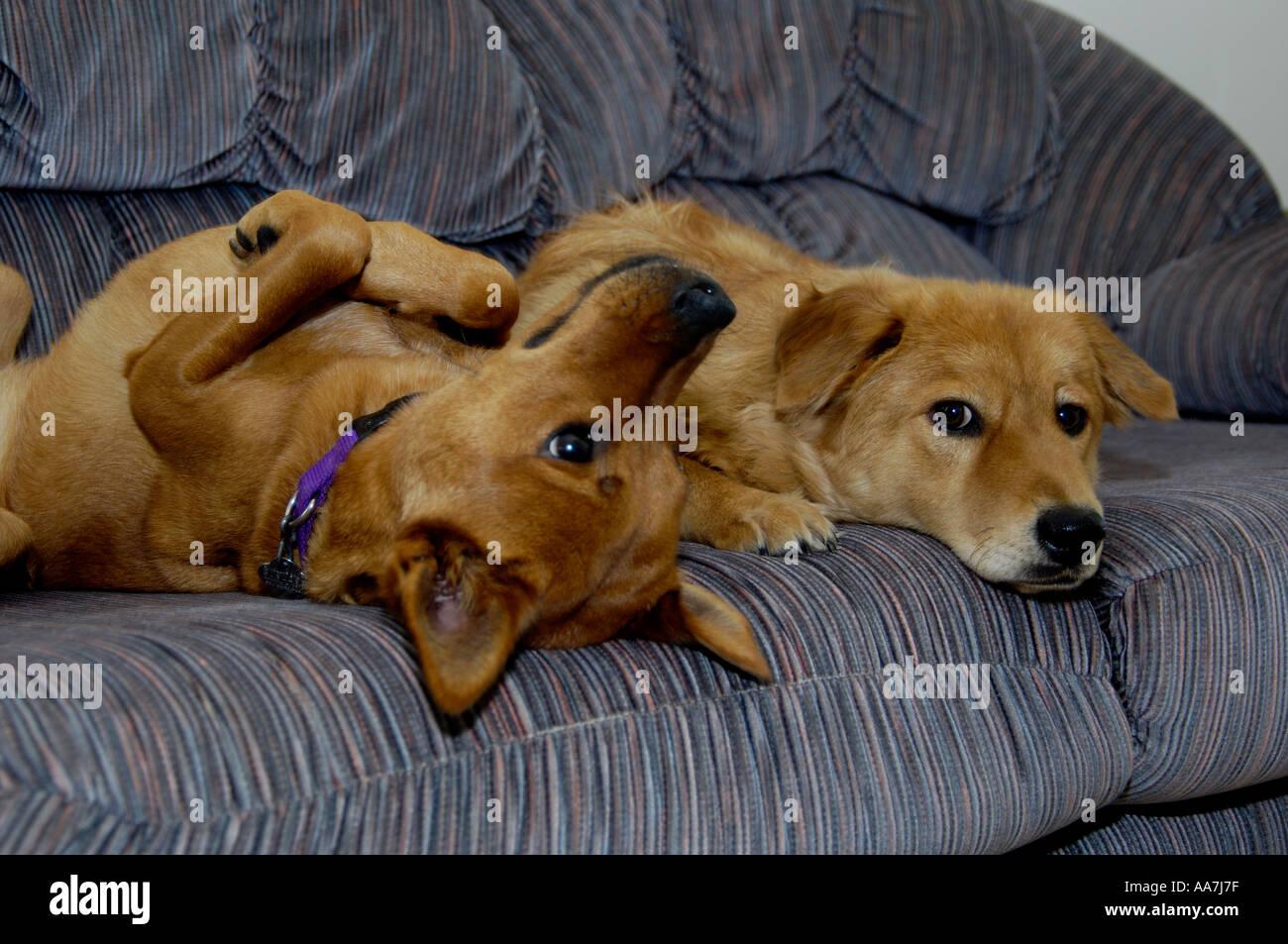 Cani Giocando Sul Lettino Miniature Pinscher Mix Chester Riley