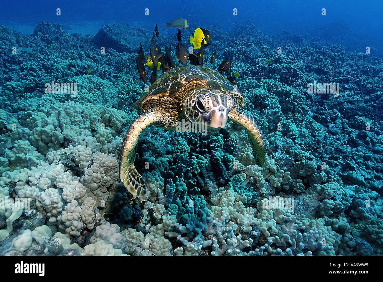 Tartaruga Verde Chelonia Mydas pulito mediante linguette di giallo e foderato bristletooth KAILUA KONA Hawaii Pacific Immagini Stock