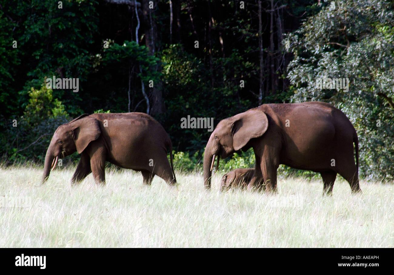 Elefante di foresta sono abbondanti nei pressi della spiaggia, nella savana e foresta in Gabon's affida Loango Immagini Stock