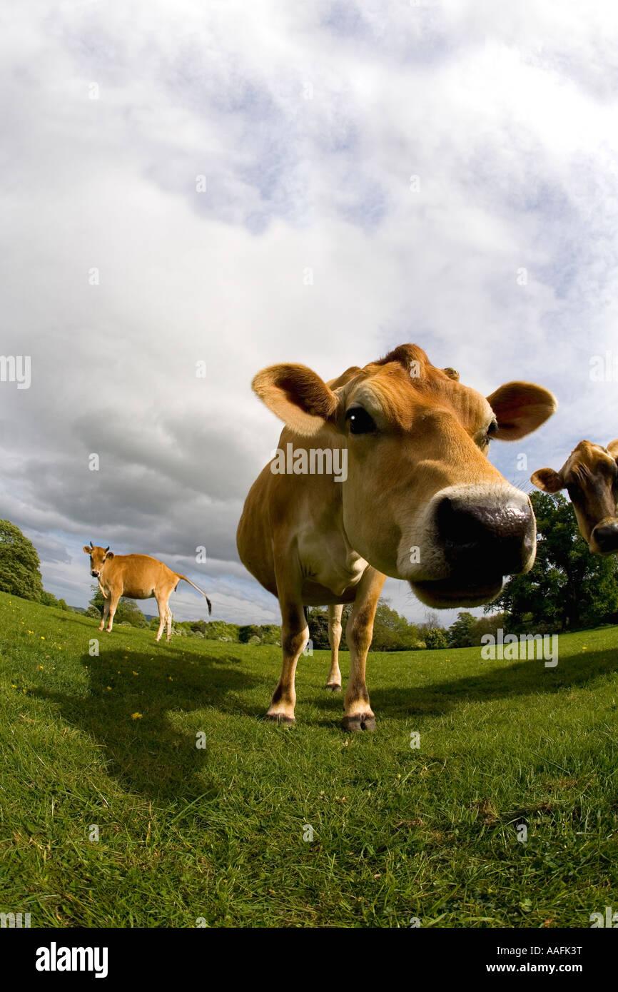 Jersey mucca nel prato inglese sole estivo cielo blu Inghilterra gran bretagna gb uk Regno Unito UE Immagini Stock