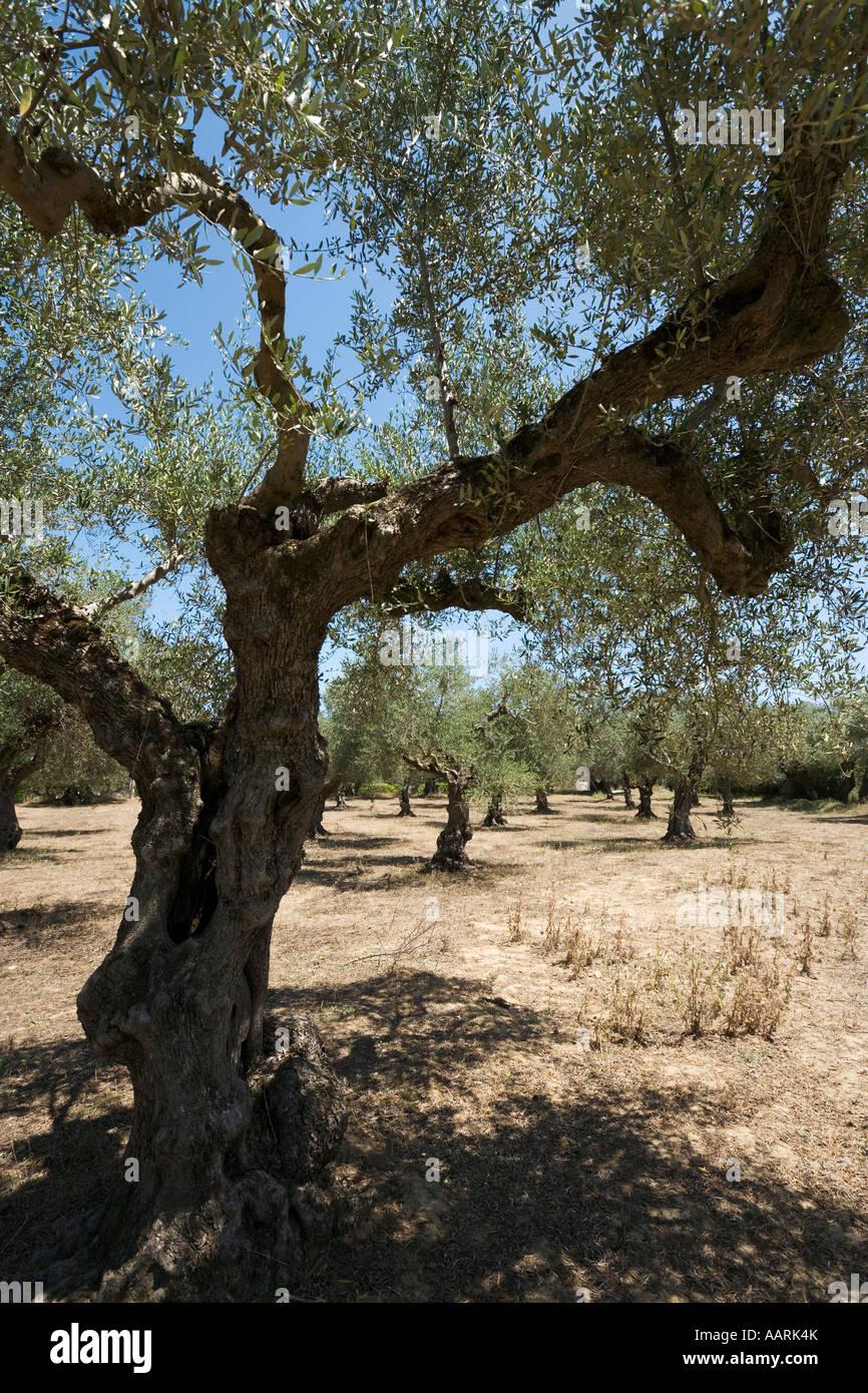 Alberi di ulivo, Zante, Isole Ionie, Grecia Immagini Stock