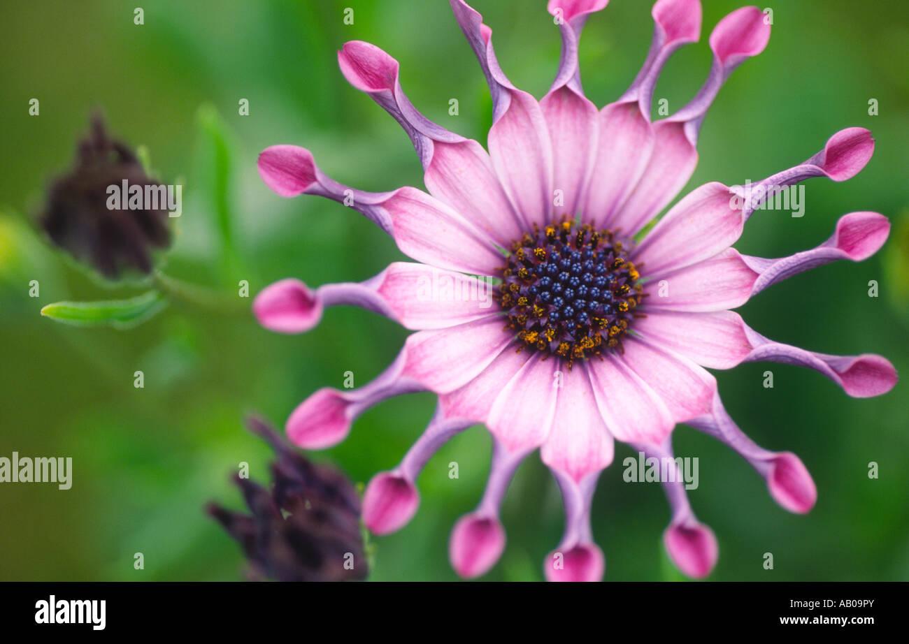 Paesaggio fotografia della pianta fiori rosa serenità osteospermum