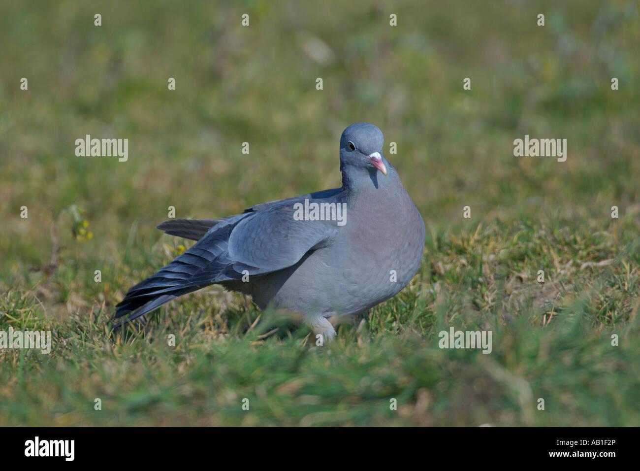 Colomba di stock o stock pigeon Columba oenas alimentando in agricolo di mettere da parte il campo Norfolk Inghilterra Immagini Stock