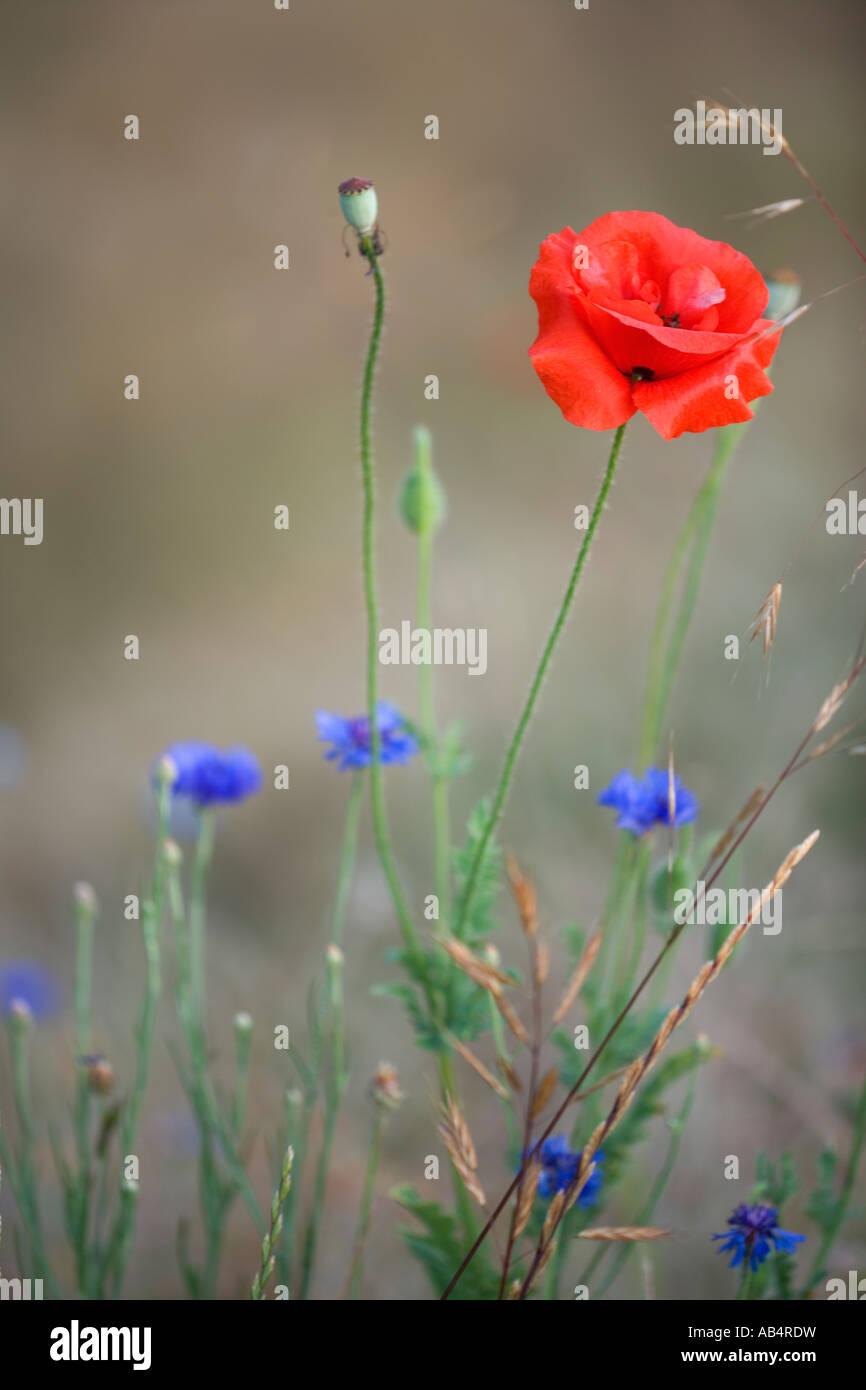 Oriental papavero con laurea pulsante della fioritura in campo, California Immagini Stock