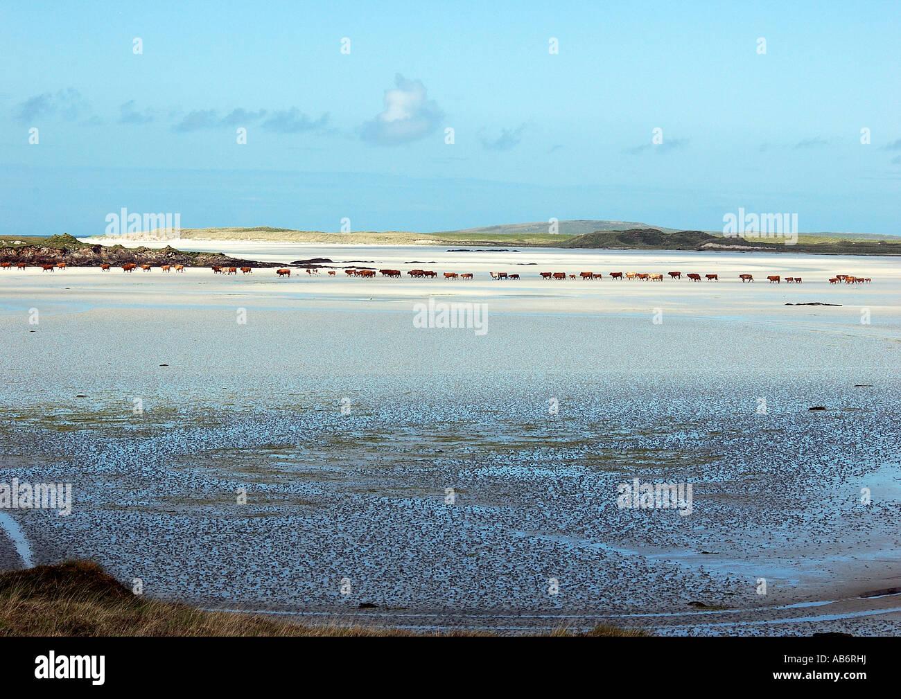 Le vacche di file in una insenatura di sabbia con la bassa marea, Uist, Scozia Foto Stock