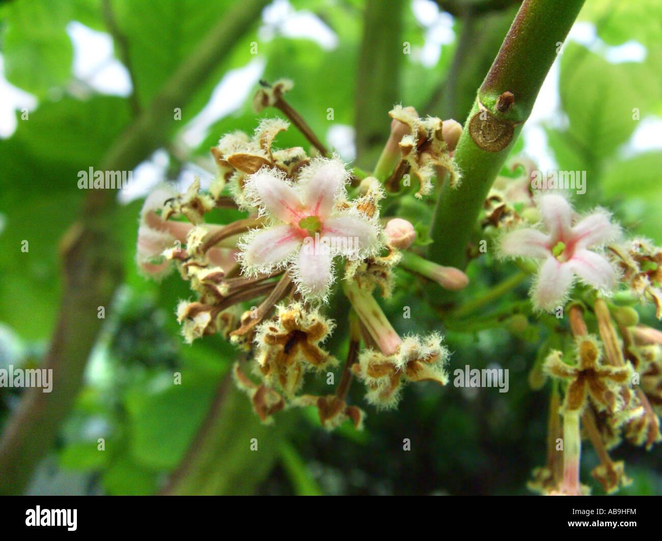 Corteccia peruviana, chinina, chinina corteccia giallo, chinina, giallo chinina Corteccia di China officinalis infiorescenza, Immagini Stock