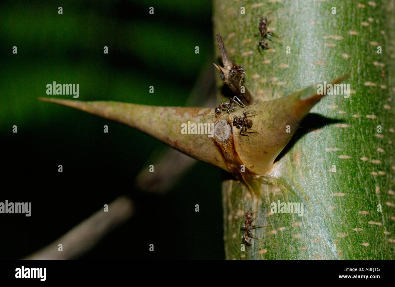 Bullhorn Acacia, Acacia sp, albero con formiche simbiotico Immagini Stock