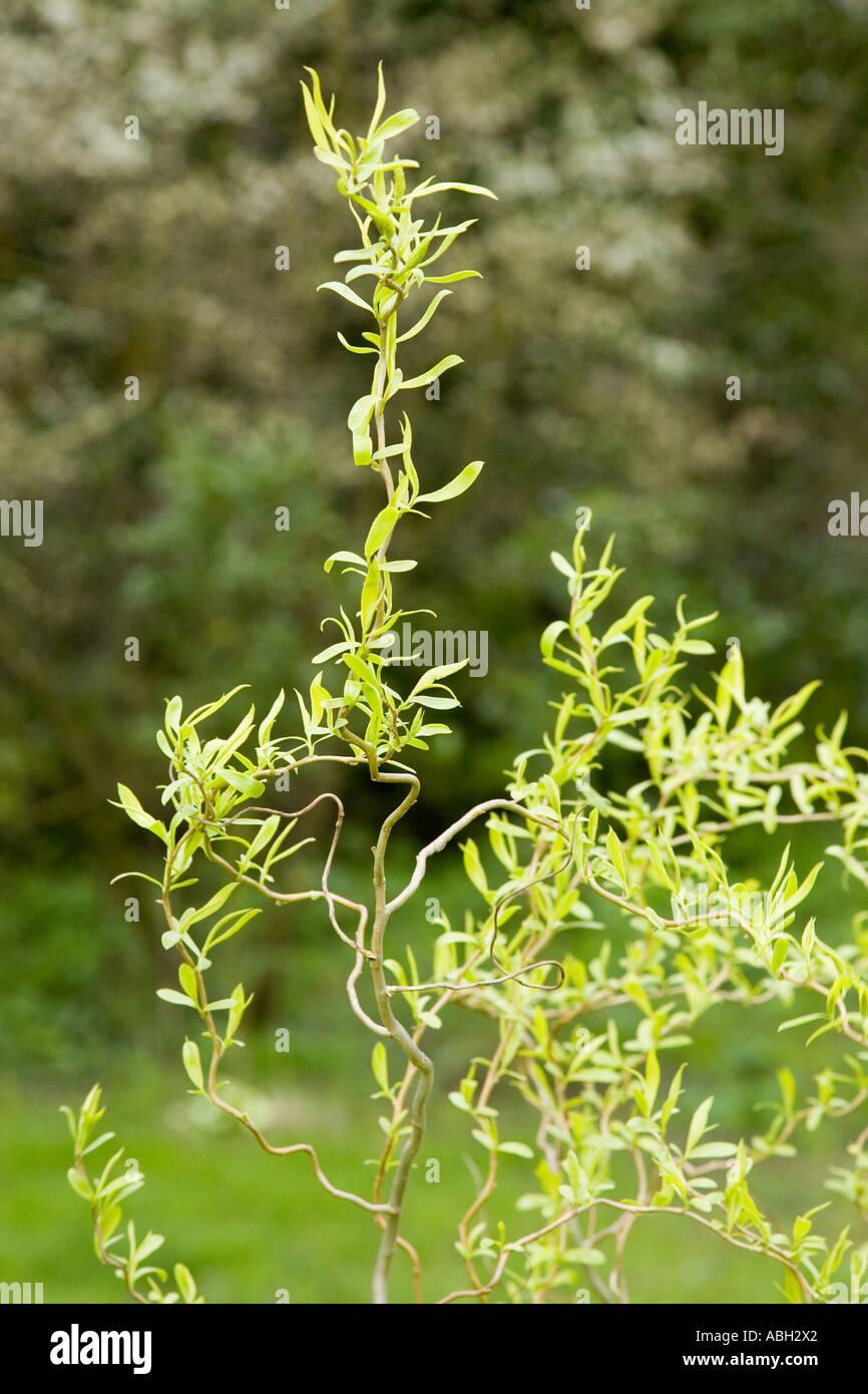 Struttura di cavatappi willow twisted Salix Matsudana tortuosa Immagini Stock