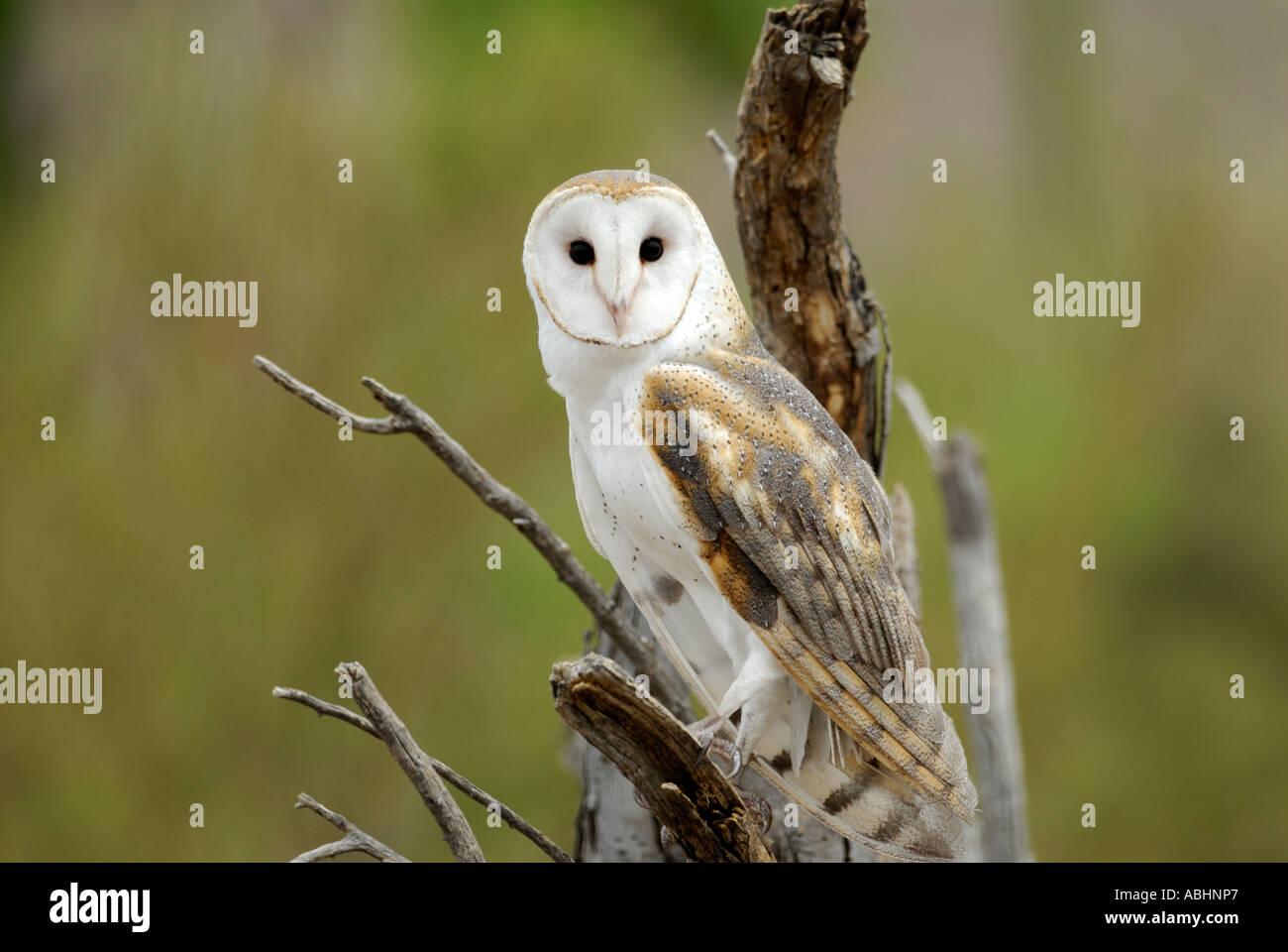 Il barbagianni, Tyto alba, close-up, appollaiato sul ramo, guardando la fotocamera Immagini Stock