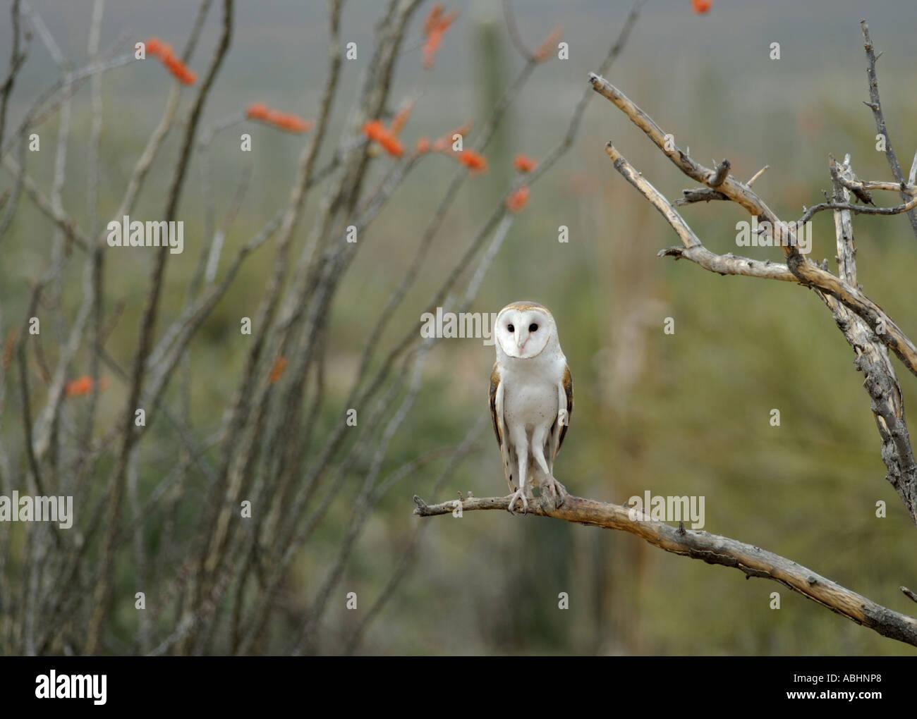 Il barbagianni, Tyto alba, appollaiato sul ramo, guardando la fotocamera Immagini Stock