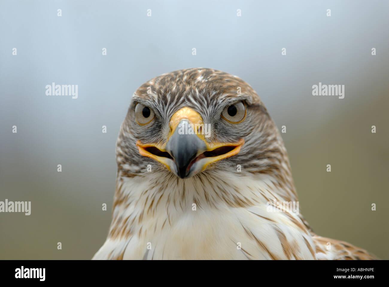Falco ferruginosa, Buteo regalis, close-up di faccia, guardando la fotocamera Immagini Stock