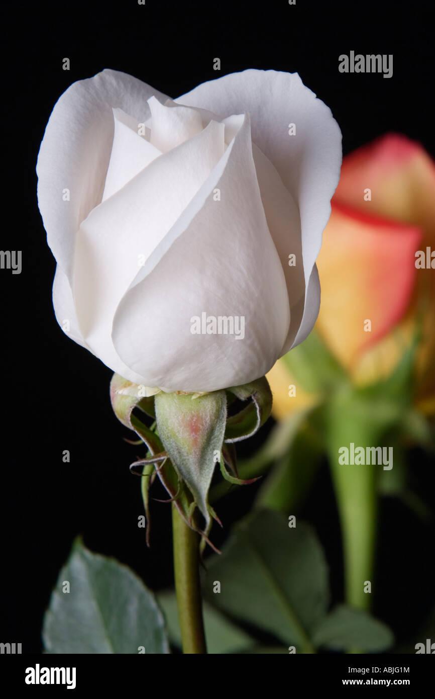 Rosa Bianca Su Sfondo Nero Con Arancione Rosa In Sfondi Foto