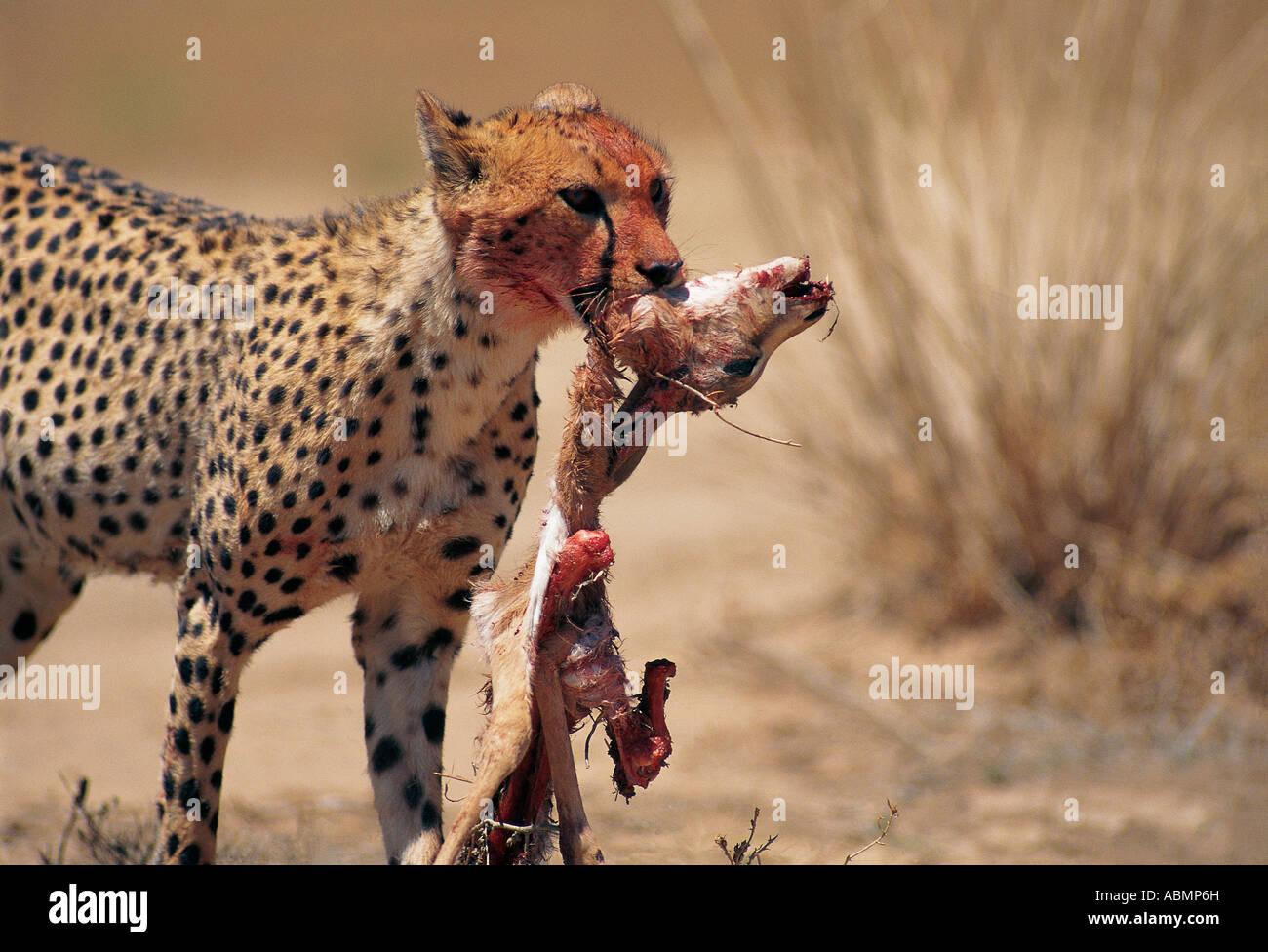 Ghepardo che porta il mezzo mangiato la carcassa di un morto Springbok Nossob riverbed Kalahari Gemsbok National Immagini Stock