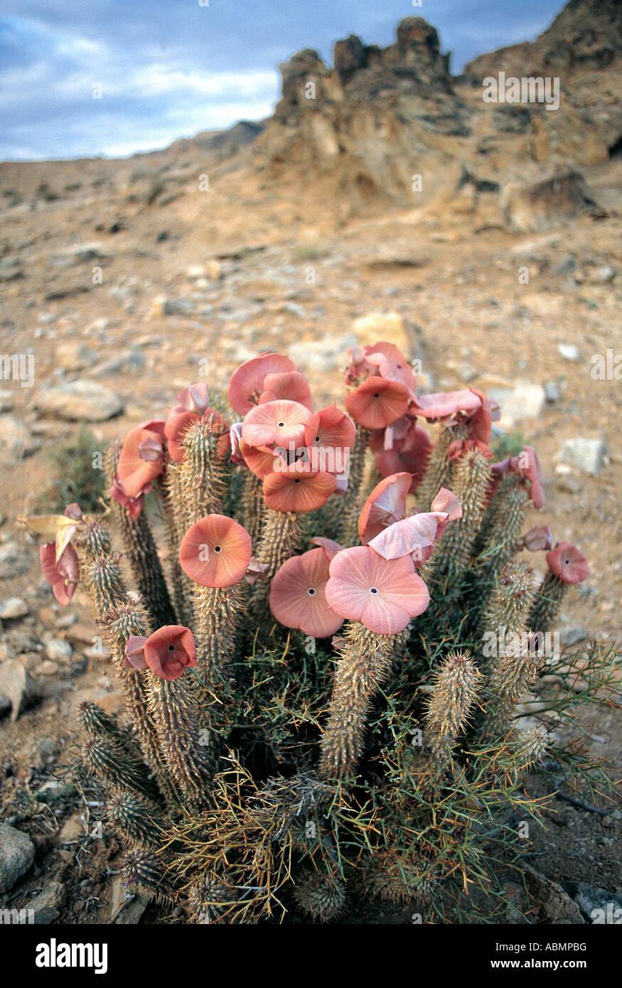 Succulente gigante stapeliads trovati nella sabbia di linee di drenaggio nel Richtersveld National Park Capo Nord Immagini Stock