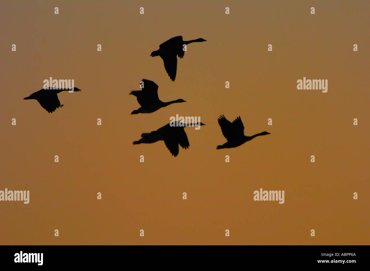 Oche del Canada Branta canadensis volare in formazione sopra una zona umida del Michigan Immagini Stock