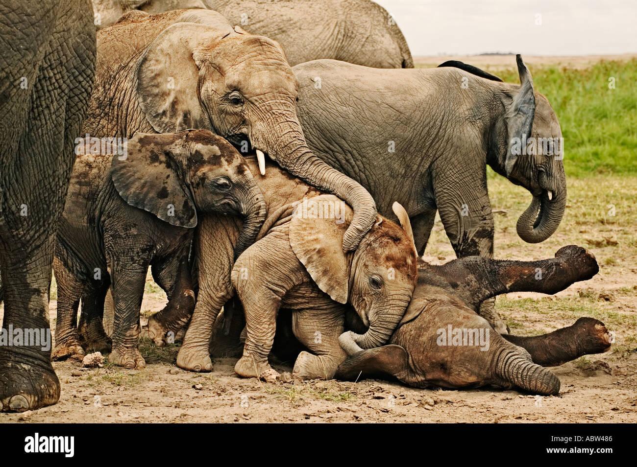 Elefante africano Loxodonta africana vitelli di sdraiarsi a dormire mentre altri giocare Amboseli National Park Foto Stock