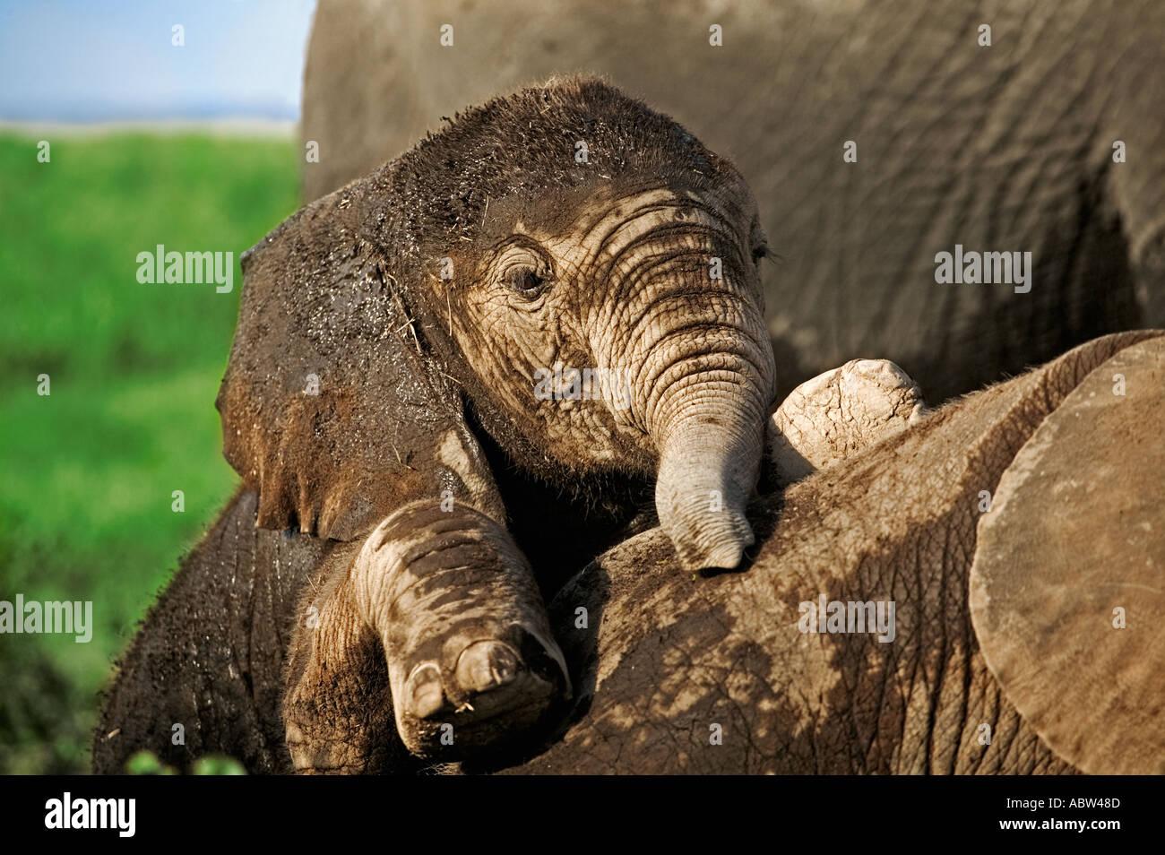 Elefante africano Loxodonta africana vitelli di sdraiarsi a dormire mentre altri giocare Amboseli National Park in Kenya Immagini Stock