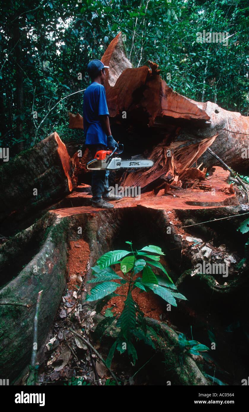 Problemi di conservazione tagliando un albero della foresta pluviale Borneo Immagini Stock