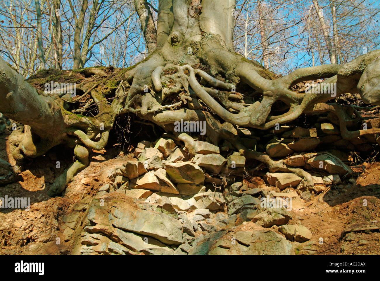 Faggi con forti radici in pendenza nella foresta di Hesse in Germania Immagini Stock