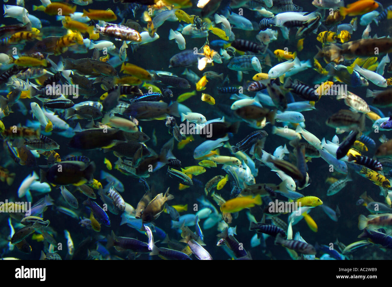 Scuola di pesce multcolored visto acquario subacqueo allo zoo di Toronto Immagini Stock