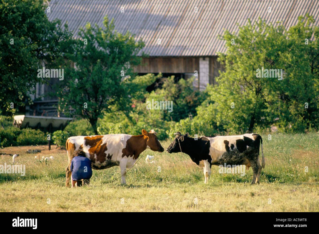 Donna seduta sul piccolo sgabello mano mungere le mucche in campo