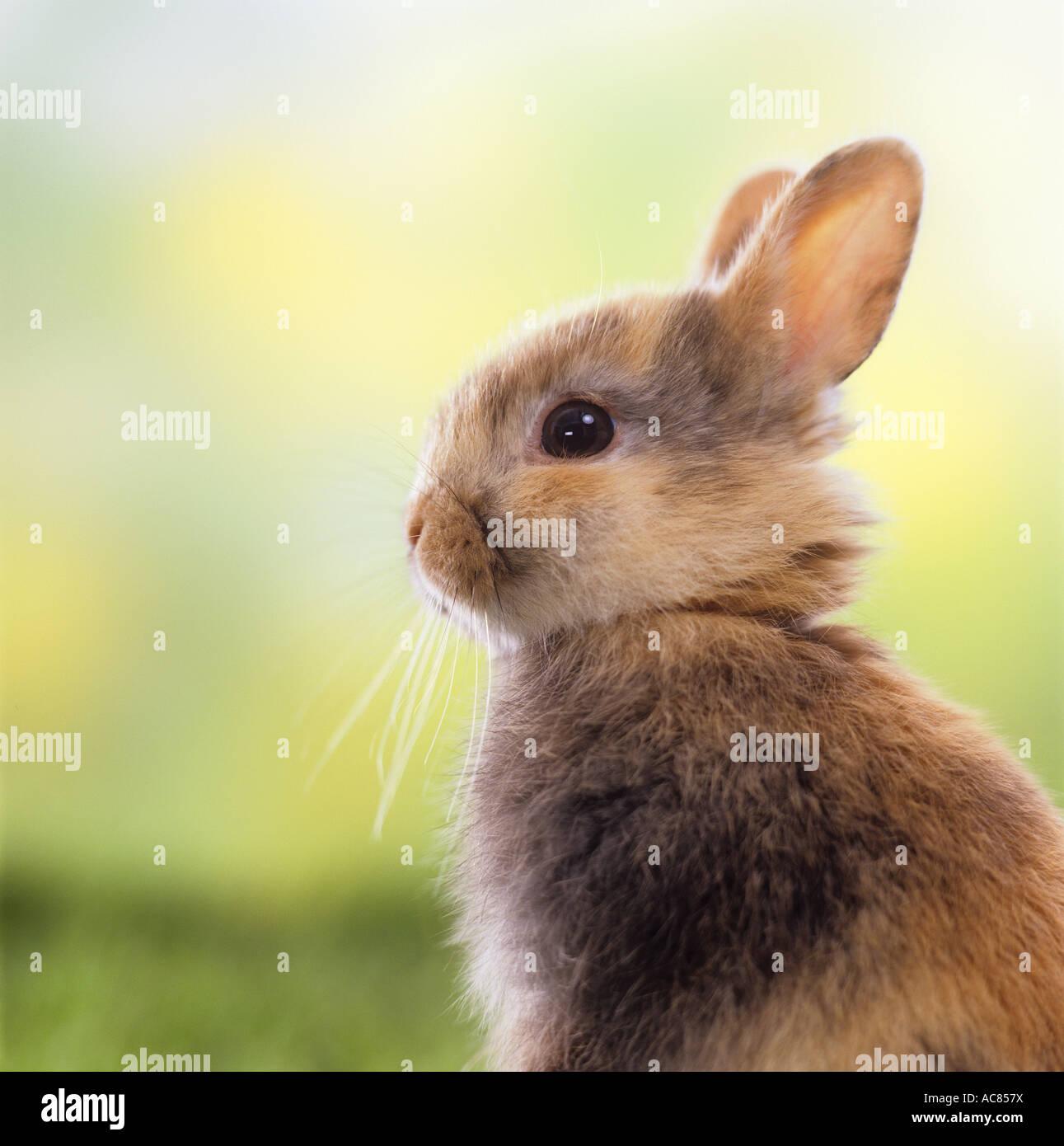 Giovani dwarf rabbit. ritratto Immagini Stock