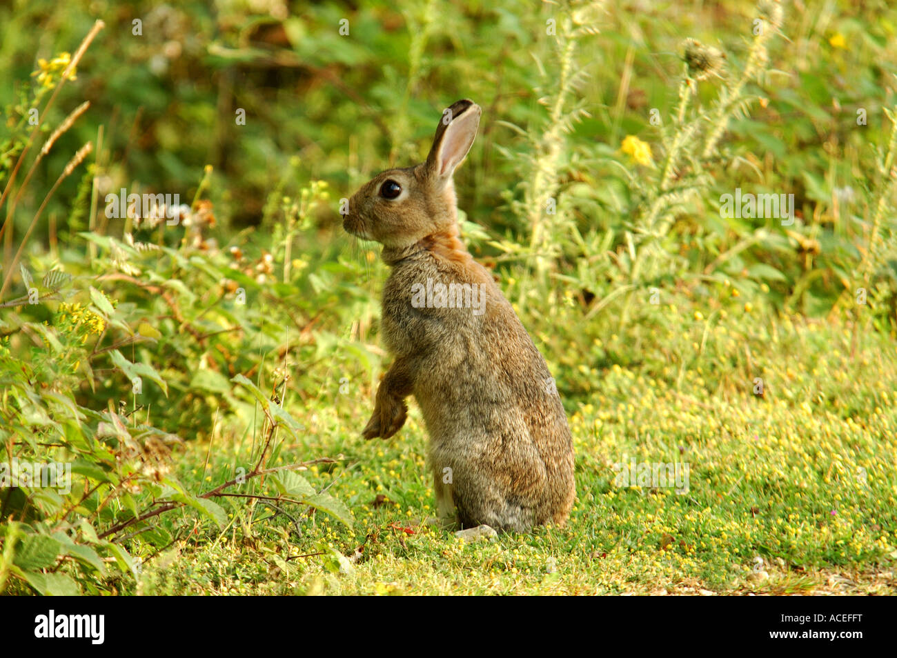 Simpatico coniglio giovane seduto nell'erba a Greenham Common Airbase Immagini Stock