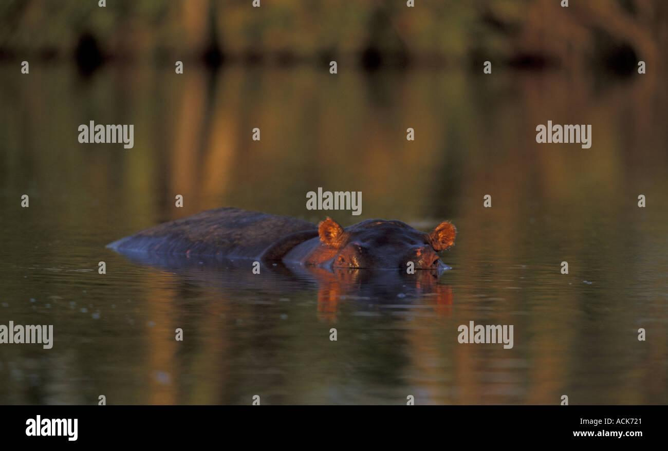 Ippopotamo Hippopotamus amphibius quasi sommerso gli occhi e le orecchie visibili in Kenya Immagini Stock