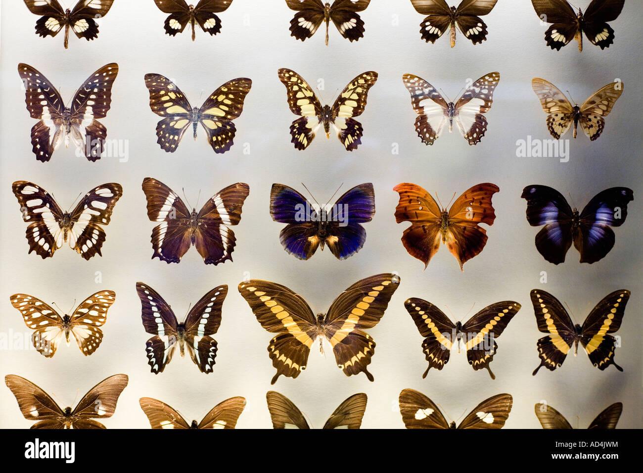 Farfalle in un museo display Immagini Stock