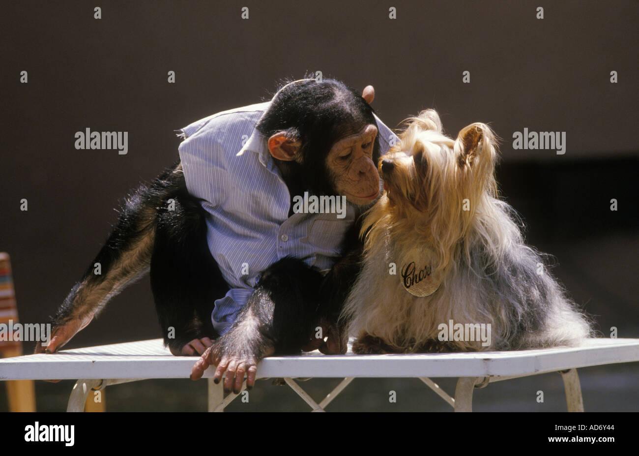 Brook Bond the advert Roma. L'Italia. Gli scimpanzé Sally plus cane 1988 HOMER SYKES Immagini Stock