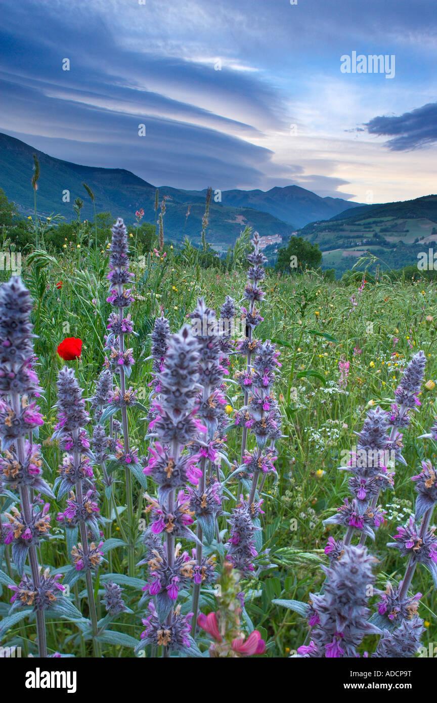 Fiori selvatici che crescono in un campo con Preci e le montagne del Parco Nazionale dei Monti Sibillini al di là Foto Stock