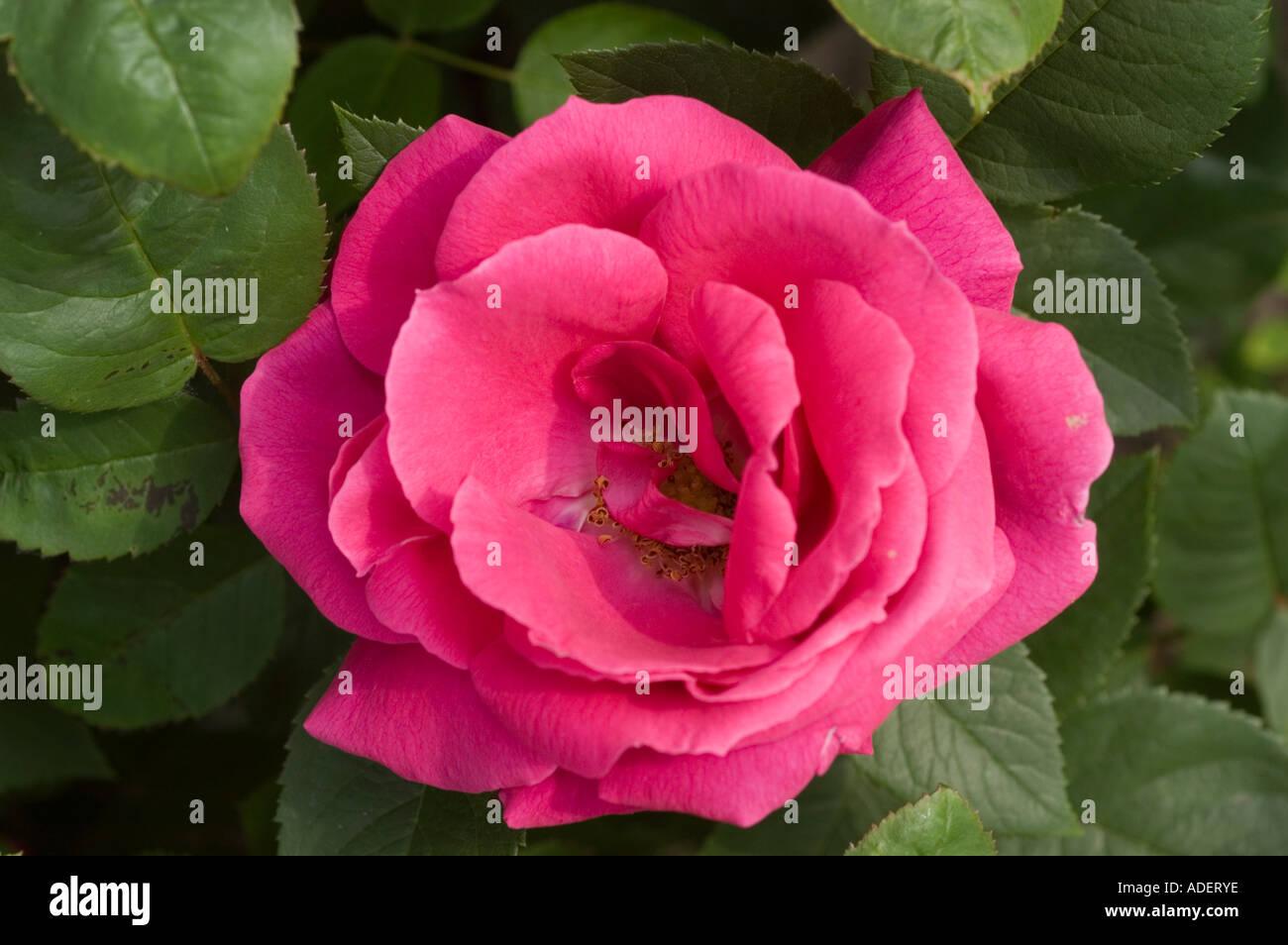 Fiore rosso di Rosa Rosaceae Rosa x bifera remontanty MME Victor Verdier Francia 1863 Foto Stock