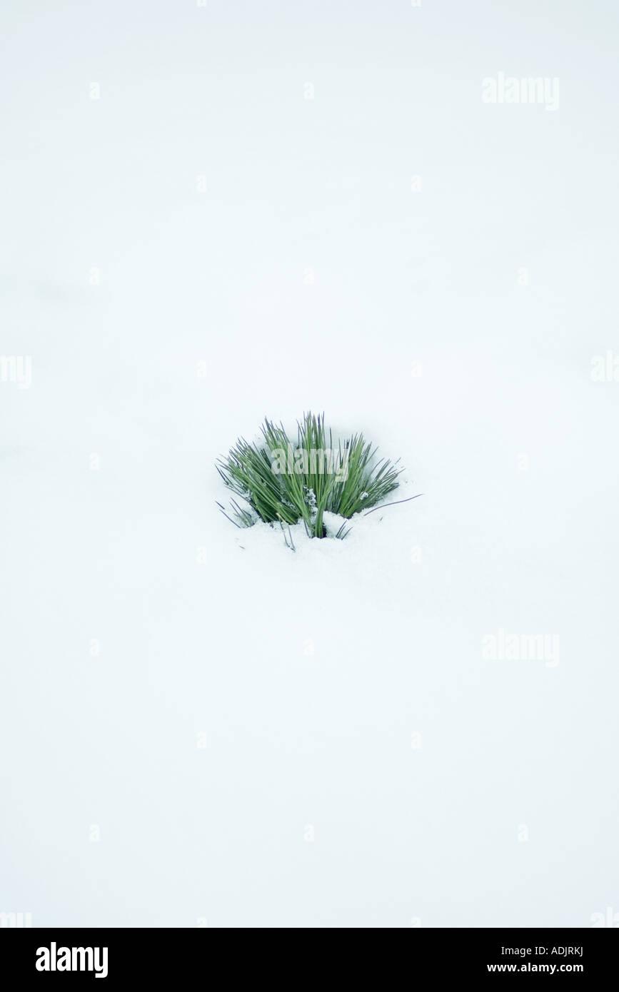 Evergreen ramo uscente dalla neve Immagini Stock