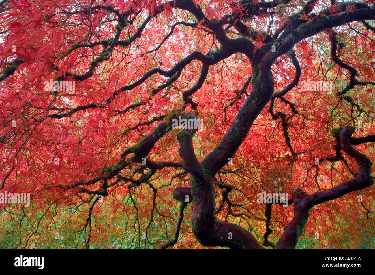 Giapponese acero in autunno a colori Portland Giardini Giapponesi Oregon Immagini Stock