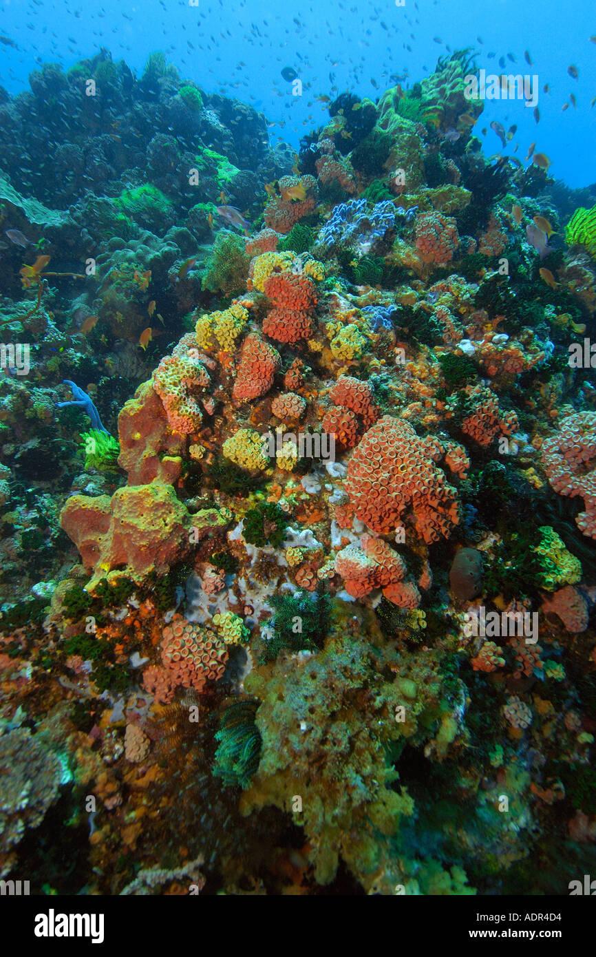 Spugne di colorati coralli e stelle piuma di noce di cocco Apo punto Riserva Marina Isola Filippine Immagini Stock