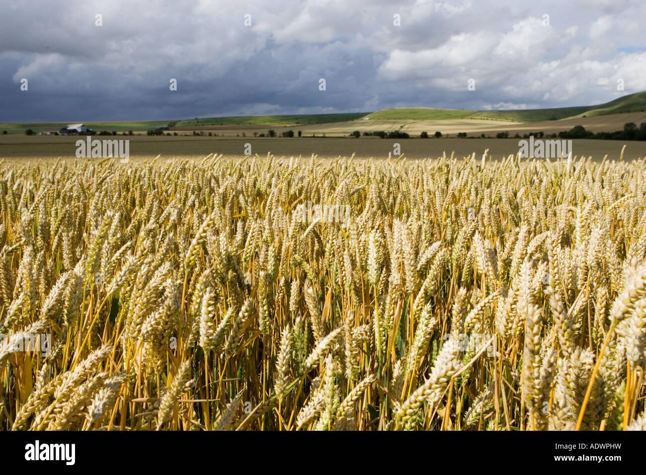 Campo di grano in Marlborough Downs Wiltshire, Inghilterra Regno Unito Immagini Stock