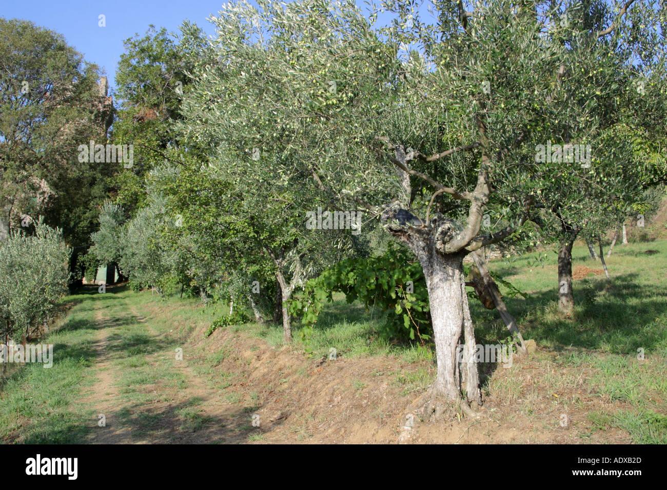 Alberi di olivo Il Palazzone Cortona Italia Foto Stock