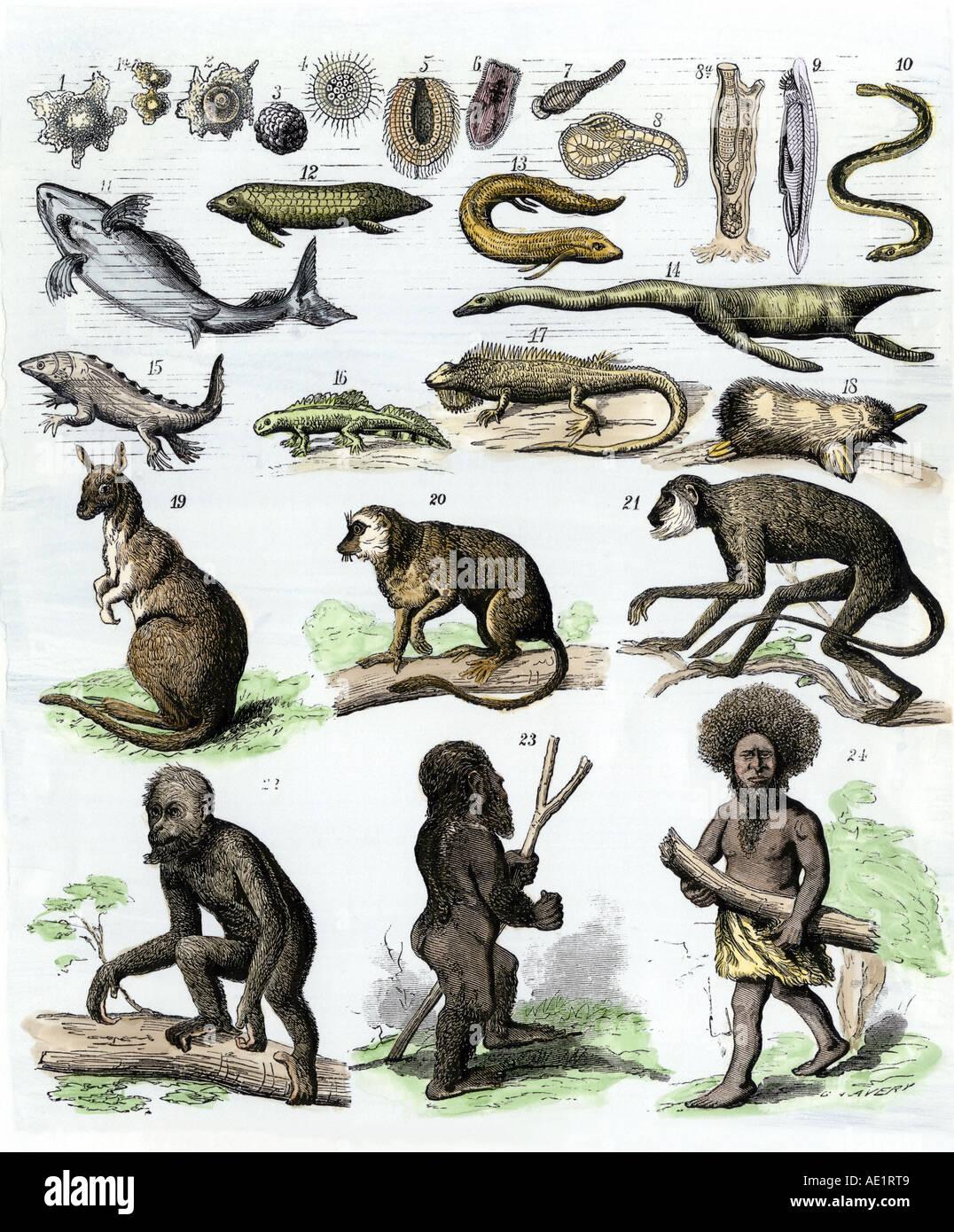 Teoria della discesa dell'uomo come illustrato nel 1870s. Colorate a mano la xilografia Immagini Stock