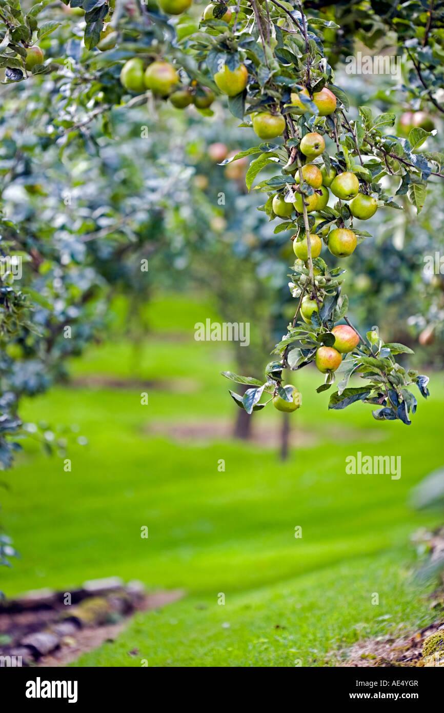 Carico pesante melo in un frutteto in inglese Immagini Stock